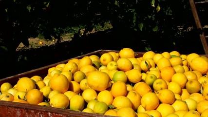 Large boxes filled with lemons. Harvesting in the lemon garden.