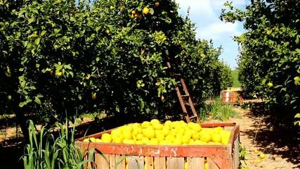 Harvesting in the lemon garden in Negev desert