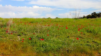 Spring blossoming of red anemones flowers at the Negev desert