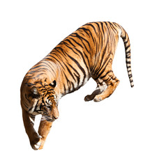 Walking adult tiger