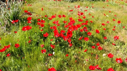 Spring blossoming of red anemones flowers