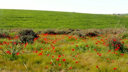 Spring blossoming of red anemones flowers at the Negev desert.