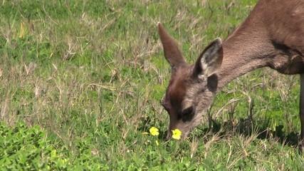 Blacktail Deer Grazing
