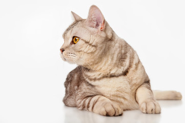 Marble british cat, , on a gray background