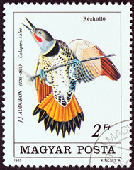 ommon Flicker, Colaptes cafer (Hungary 1985)
