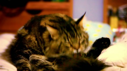Maine coon cat sitting on his back and cleaning itself. Video