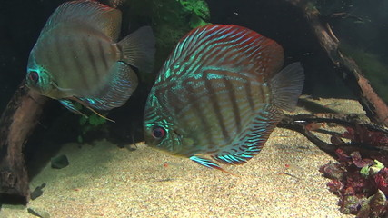 Various beautiful tropical discus fish swimming underwater.