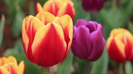beautiful tulips closeup