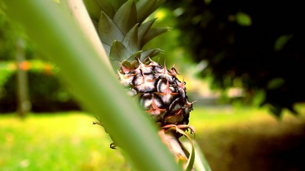 Close up of pineapple, tropical fruit Thailand. Macro video