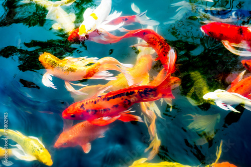 Koi fish in pond colorful natural background buy photos for Colorful pond fish