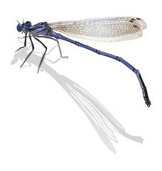 Blue dragonfly with folded wings isolated on white background. C