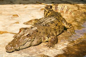 crocodile basking in the ground