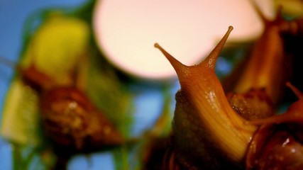 many snails crawling and eating plants. Macro video shift motion