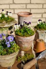 Gartendekoration mit Hornveilchen