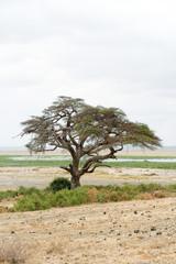 Arbre dans la plaine d'Amboseli