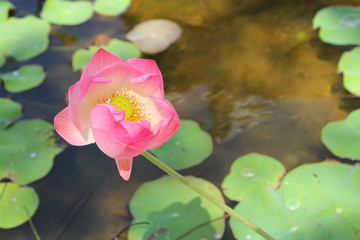 pink lotus flower in the garden