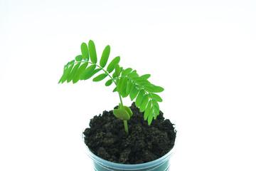 Tamarind seedlings