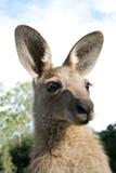 Kangaroo head