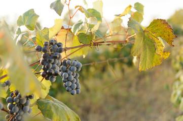 Grape at Sunset Light