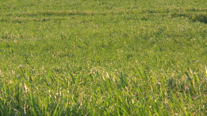 Sugar Cane Field Time Lapse