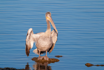 A young dalmatian pelican drying its feathers under the sun