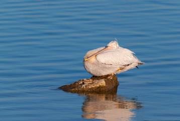 A dalmatian pelican resting on a rock
