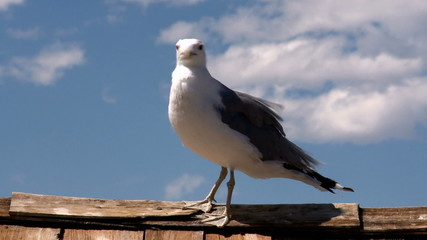 Seagull at Mono Lake  California