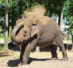 Indian elephant is dust bathing