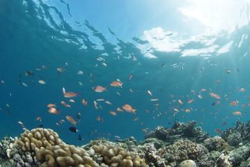 海底に舞うハナゴイの群れ