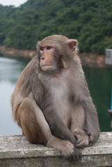 Monkey resting
