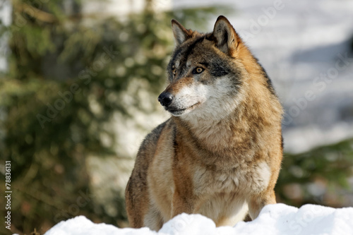 Poster Wolf Wolf ( canis lupus )