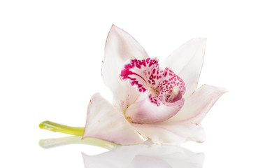 Beautiful Pink Lily Isolated
