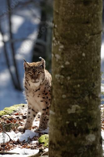 Canvas Lynx Luchs (lynx lynx)