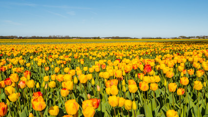 Red and yellow flowering tulips