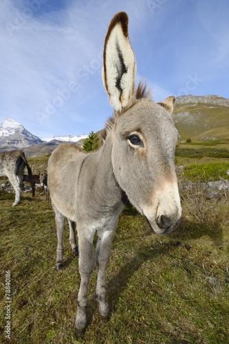 In de dag Ezel donkey, Equus africanus asinus