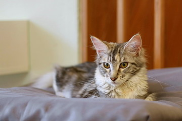 Maine coon cat laying on bed