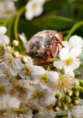 June Bug in hawthorn inflorescence