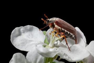Cockchafer beetle on apple white flower