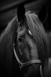 Muzzle of a black horse.