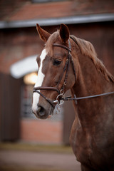 Portrait of a red horse.