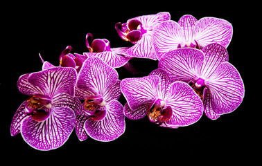 Orchids on a black