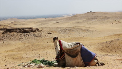 Camel chewing grass in the desert. Egypt