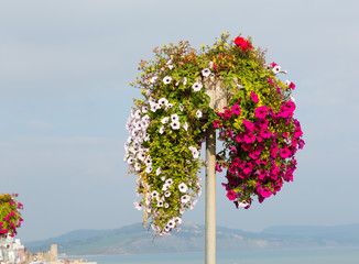 Pink white and red petunias in summer at the coast
