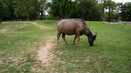 Ox Eats Grass outside of Temple Walls  - Angkor Wat Temple Complex, Cambodia