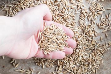 grain oats in hand