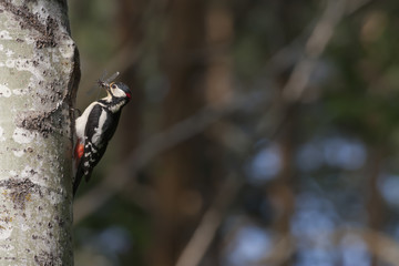 Woodpecker with dragonfly for background or copy space