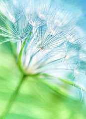 Beautiful dandelion background