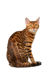 bengal cat sitting back and turned on white