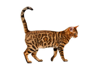 bengal cat walking on white