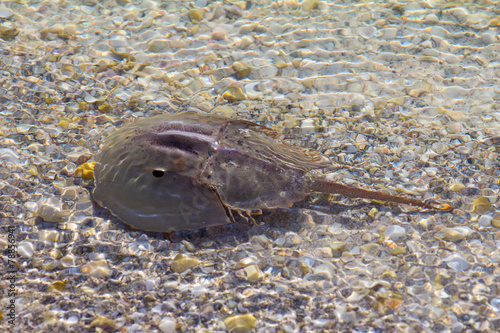 Horseshoe crab in shallow water Poster
